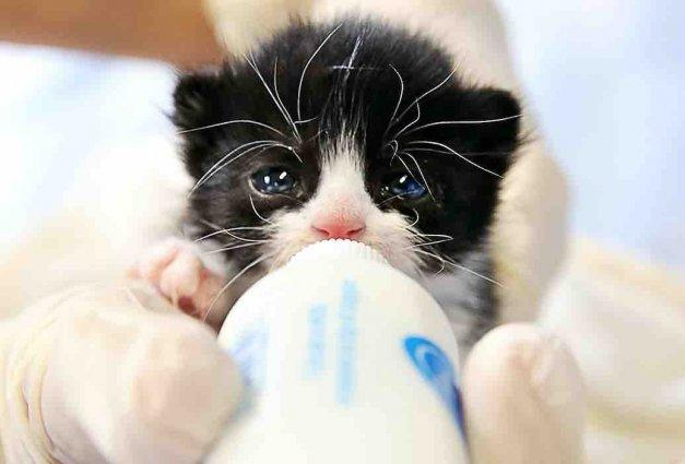 A Rescued Kitten Is Fed At The Rancho Cucamonga Nursery